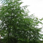 Mature Moringa Tree